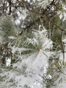 Ice on pine branches, beautifully designed by God