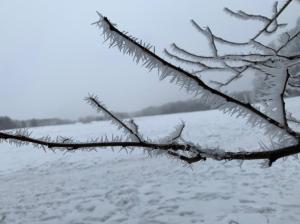 Icy tree branches - renewing for spring