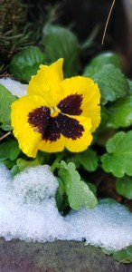 A pansy in the snow
