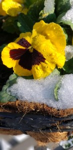 Pansy in the snow and sunshine
