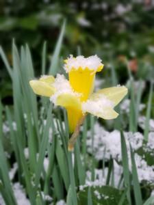 Snow melting off daffodil